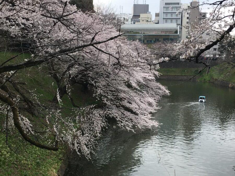 Cherry Blossom Trees in Chidorigabuchi, Tokyo, Japan